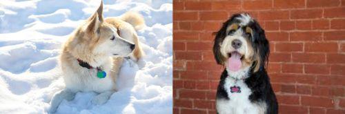Labrador Husky vs Bernedoodle