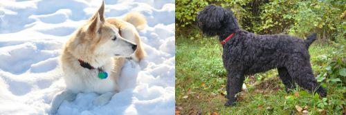Labrador Husky vs Black Russian Terrier