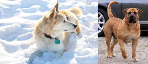 Labrador Husky vs Boerboel