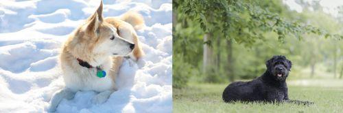 Labrador Husky vs Bouvier des Flandres