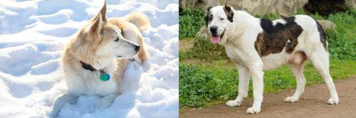 Labrador Husky vs Central Asian Shepherd