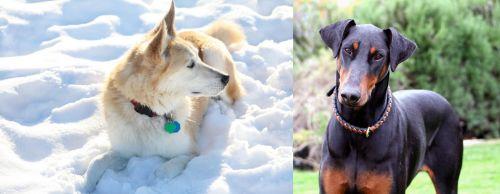 Labrador Husky vs Doberman Pinscher