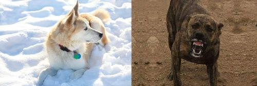 Labrador Husky vs Dogo Sardesco