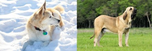 Labrador Husky vs Fila Brasileiro
