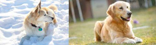 Labrador Husky vs Goldador