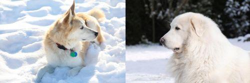Labrador Husky vs Great Pyrenees