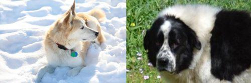Labrador Husky vs Greek Sheepdog