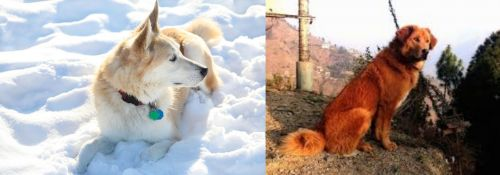 Labrador Husky vs Himalayan Sheepdog