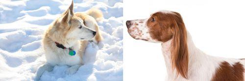 Labrador Husky vs Irish Red and White Setter