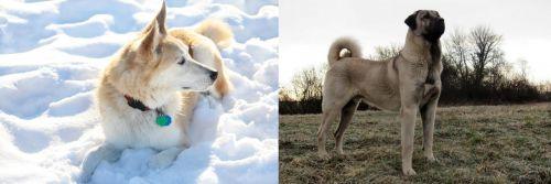 Labrador Husky vs Kangal Dog