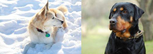 Labrador Husky vs Rottweiler