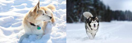 Labrador Husky vs Siberian Husky