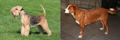 Lakeland Terrier vs Austrian Pinscher