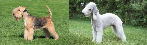 Lakeland Terrier vs Bedlington Terrier