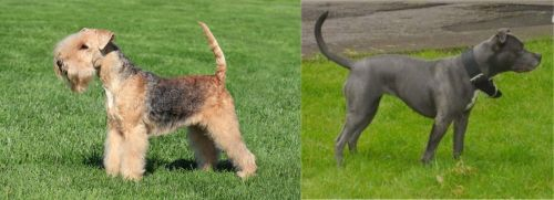 Lakeland Terrier vs Irish Bull Terrier