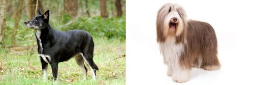 Lapponian Herder vs Bearded Collie