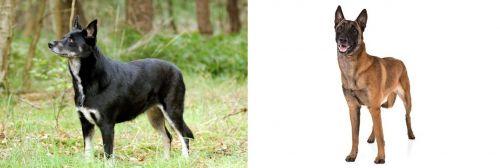 Lapponian Herder vs Belgian Shepherd Dog (Malinois)