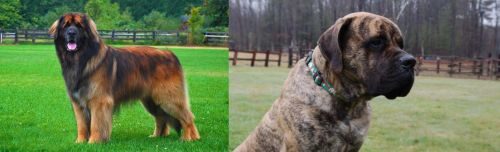 Leonberger vs American Mastiff