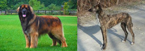Leonberger vs American Staghound