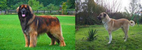 Leonberger vs Anatolian Shepherd