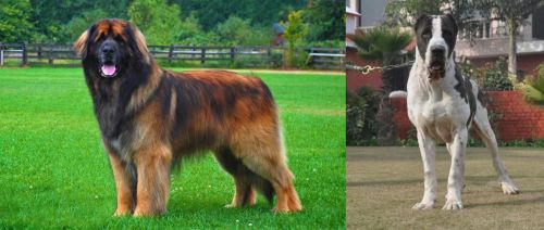 Leonberger vs Bully Kutta