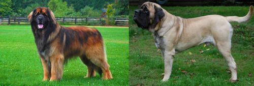 Leonberger vs English Mastiff