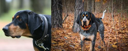 Lithuanian Hound vs Bluetick Coonhound