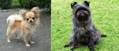 Long Haired Chihuahua vs Affenpinscher