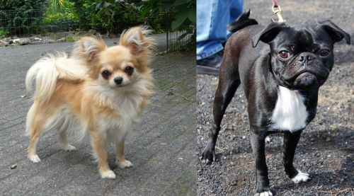 Long Haired Chihuahua vs Bugg