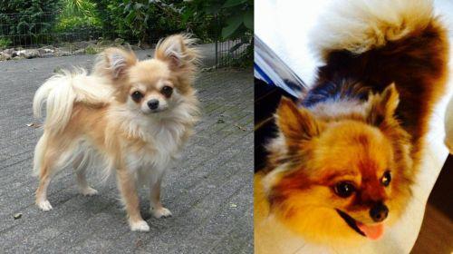 Long Haired Chihuahua vs Chiapom