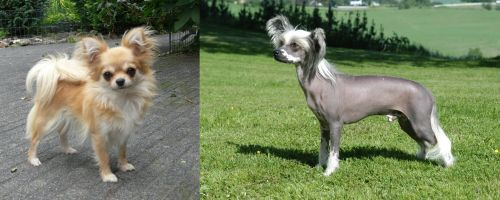 Long Haired Chihuahua vs Chinese Crested Dog