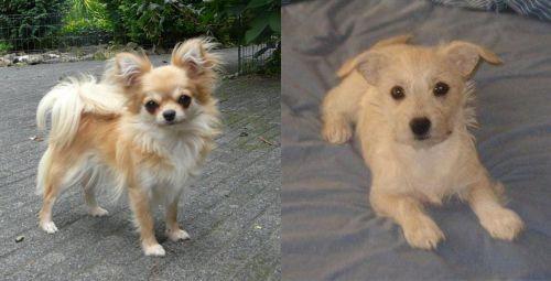 Long Haired Chihuahua vs Chipoo