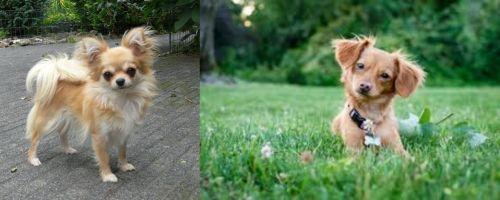 Long Haired Chihuahua vs Chiweenie