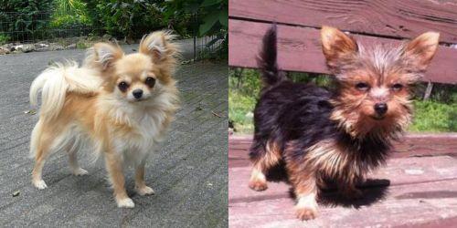 Long Haired Chihuahua vs Chorkie