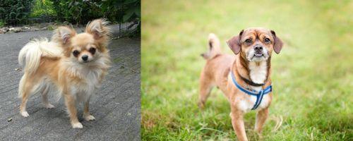 Long Haired Chihuahua vs Chug