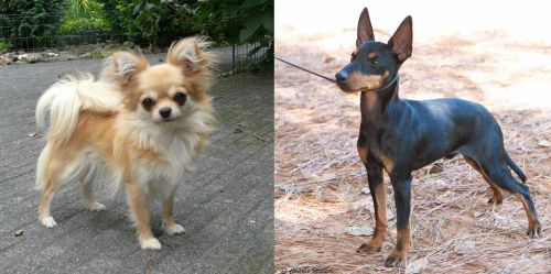 Long Haired Chihuahua vs English Toy Terrier (Black & Tan)