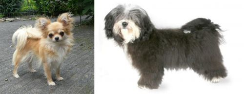 Long Haired Chihuahua vs Havanese