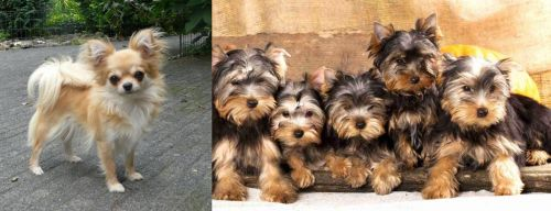 Long Haired Chihuahua vs Yorkshire Terrier