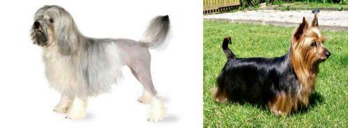 Lowchen vs Australian Silky Terrier