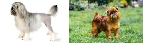 Lowchen vs Belgian Griffon