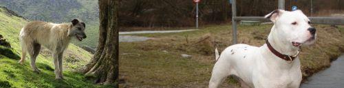 Lurcher vs Antebellum Bulldog