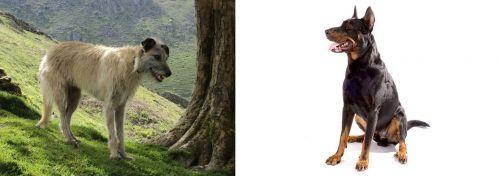 Lurcher vs Beauceron