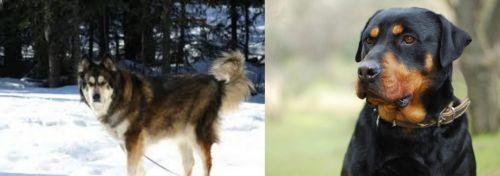 Mackenzie River Husky vs Rottweiler