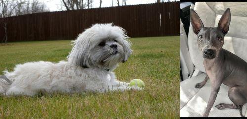 Mal-Shi vs American Hairless Terrier