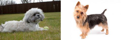 Mal-Shi vs Australian Terrier
