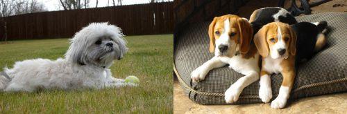 Mal-Shi vs Beagle