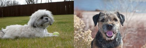 Mal-Shi vs Border Terrier
