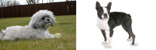 Mal-Shi vs Boston Terrier