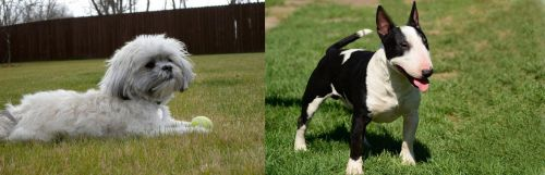 Mal-Shi vs Bull Terrier Miniature