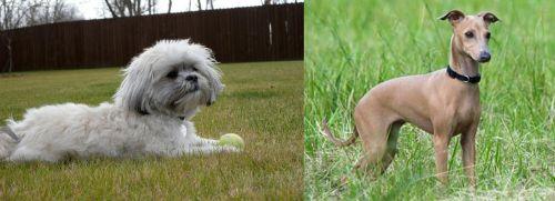 Mal-Shi vs Italian Greyhound